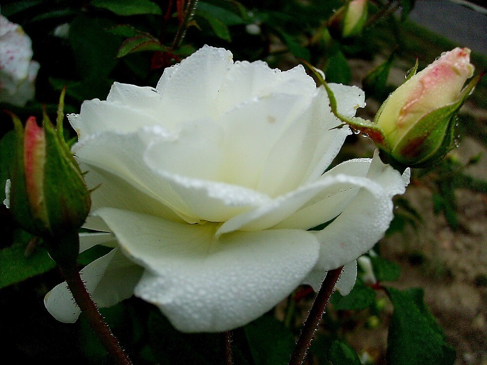 White Rose with two buds by Ana Belaj