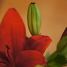 Asiatic Lily by Lorelle Gromus
