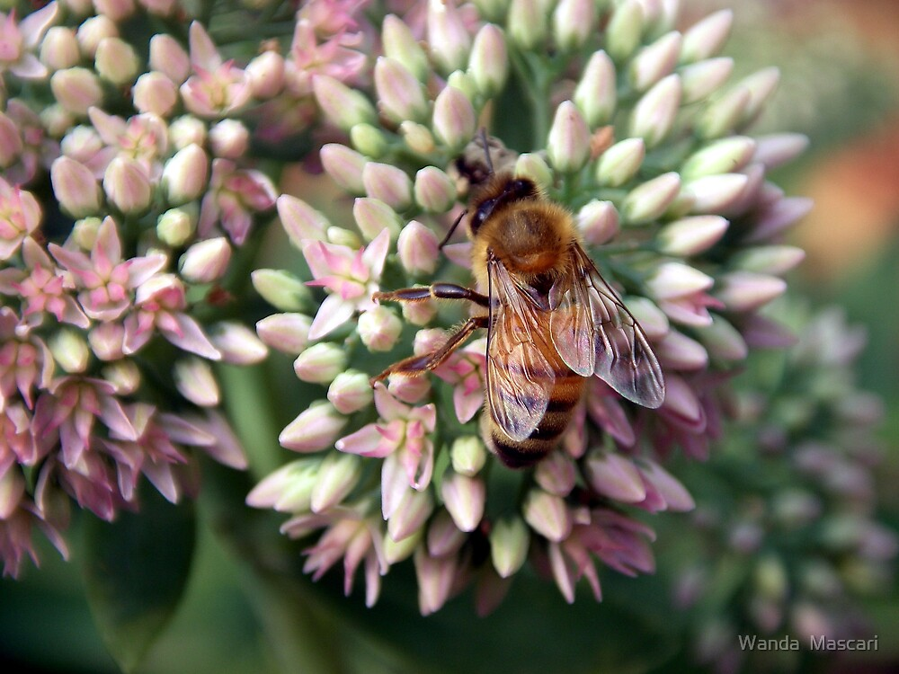 Honeybee Closeup by Wanda  Mascari