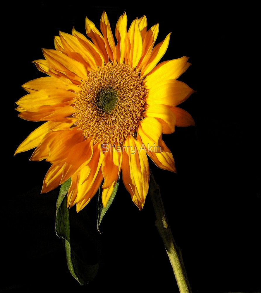 Accented Sunflower by Sharry Akin