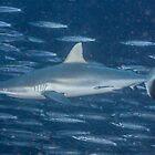 Gray Reef Shark with Barracudas by Mark Rosenstein