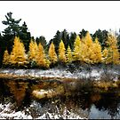 Snow Paints Larch Grove by Wayne King