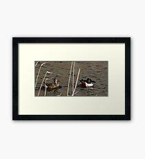 Northern Shoveler - Swimming Framed Print