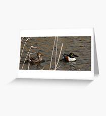 Northern Shoveler - Swimming Greeting Card