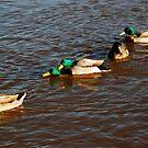 Ruswarp/ gay ducks by dougie1