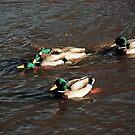 Ruswarp/ gay ducks 2 or 3! by dougie1