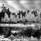 Tamarack Monochrome in a Platinum Sky by Wayne King