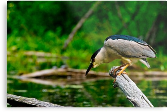 Black Crowned Night Heron by Michael Cummings