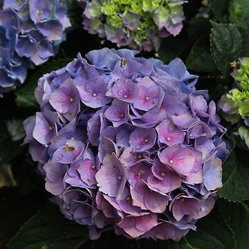 Shades of Pink and Purple Hydrangea  by RosevineCottage