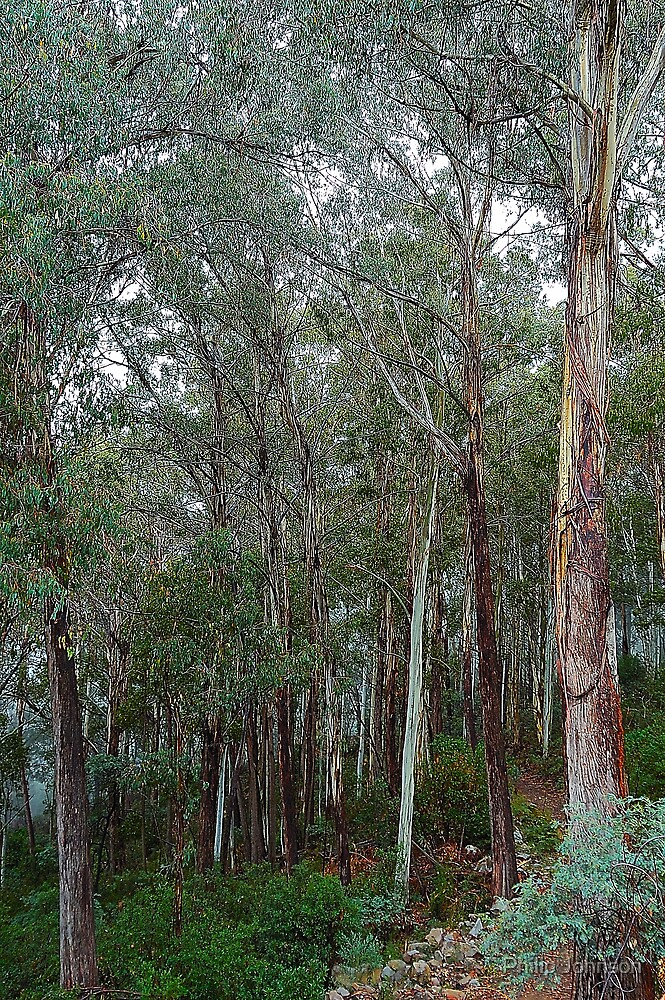 Standing Tall - Marysville, Victoria, Australia by Philip Johnson