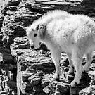 Mountain Goat Kid by Jim Stiles