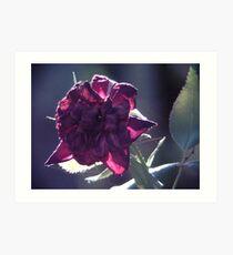 Dieing Rose Art Print