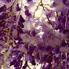 Glyzinie ~ Frühling von 2016 von Evita