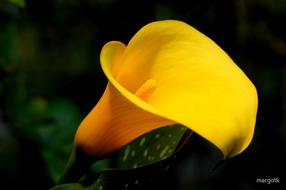 Golden Calla Lily by margotk