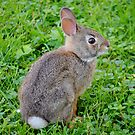 Bunny Rabbit by farmbrough