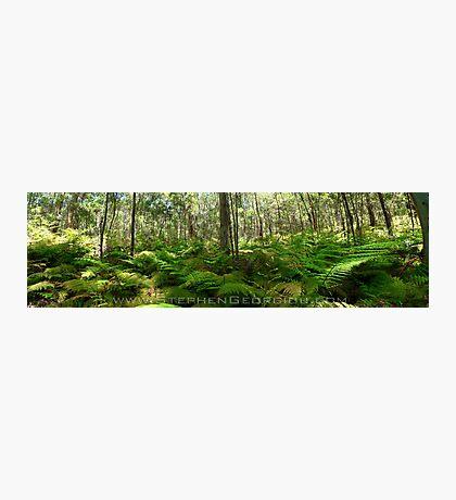 Blue Gum forest Photographic Print