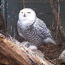 Snowy Owl by Martha Medford