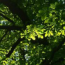 Horse chestnut in June by Bluesrose