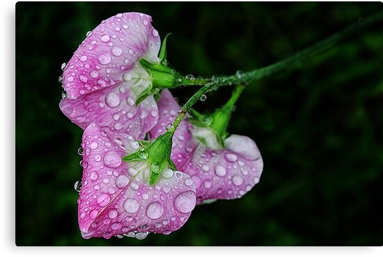 Sweet Pea by Peter Daalder