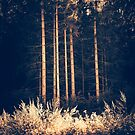 Tall birches by Silvia Ganora