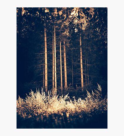 Tall birches Photographic Print