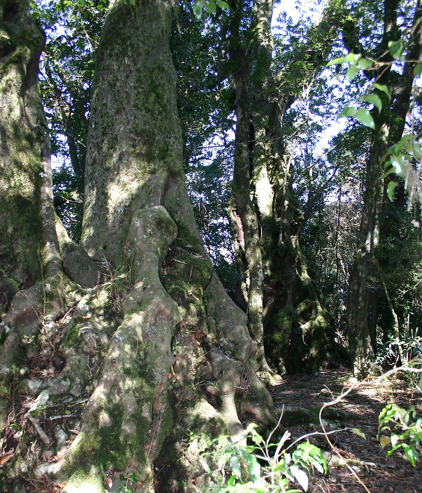 Artic Beech Trees 2000 yrs old by judithtaylor