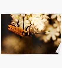 Soldier Beetle on Blossom Poster