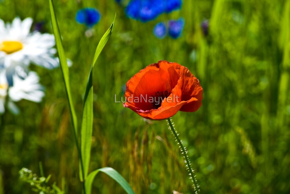 Field Poppy  by LudaNayvelt