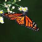 Monarch Butterfly  by barnsis