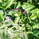 Hummingbird in Flight by Mark Baldwyn