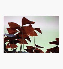 Oxalis Photographic Print
