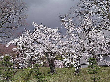 Storm Threatens Sakura by satsumagirl