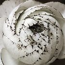 Ranunculus  by Sashy
