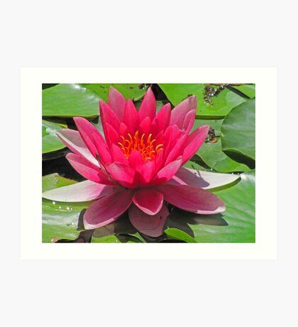 Abbotsbury Water Lily Art Print