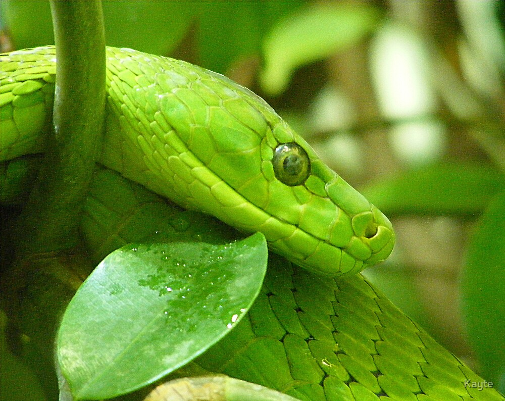 Green Tree Python by Kayte