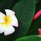 Frangipani by Nicole Pearce