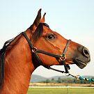 Arabian Horse by Johnny Furlotte