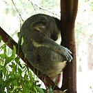 koala by aggieeck