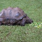 Giant Tortoise by aggieeck
