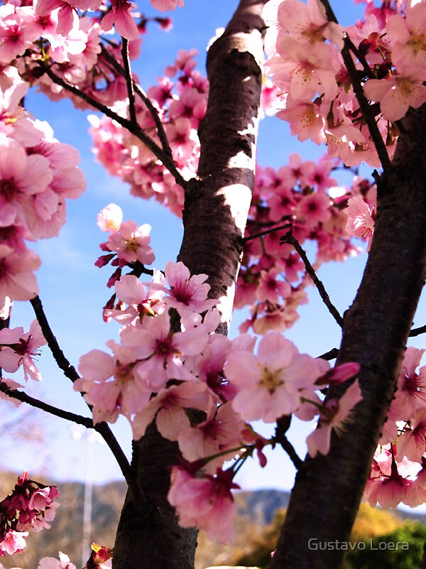 Cherry Blossom by Gustavo Loera