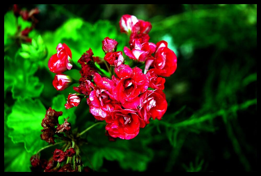 Redalicious geranium (pelargonium) by Wubalicious