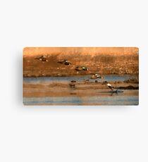Northern Shoveler - Flying Sequence Canvas Print