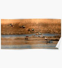 Northern Shoveler - Flying Sequence Poster