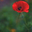 Red Poppy by LawsonImages