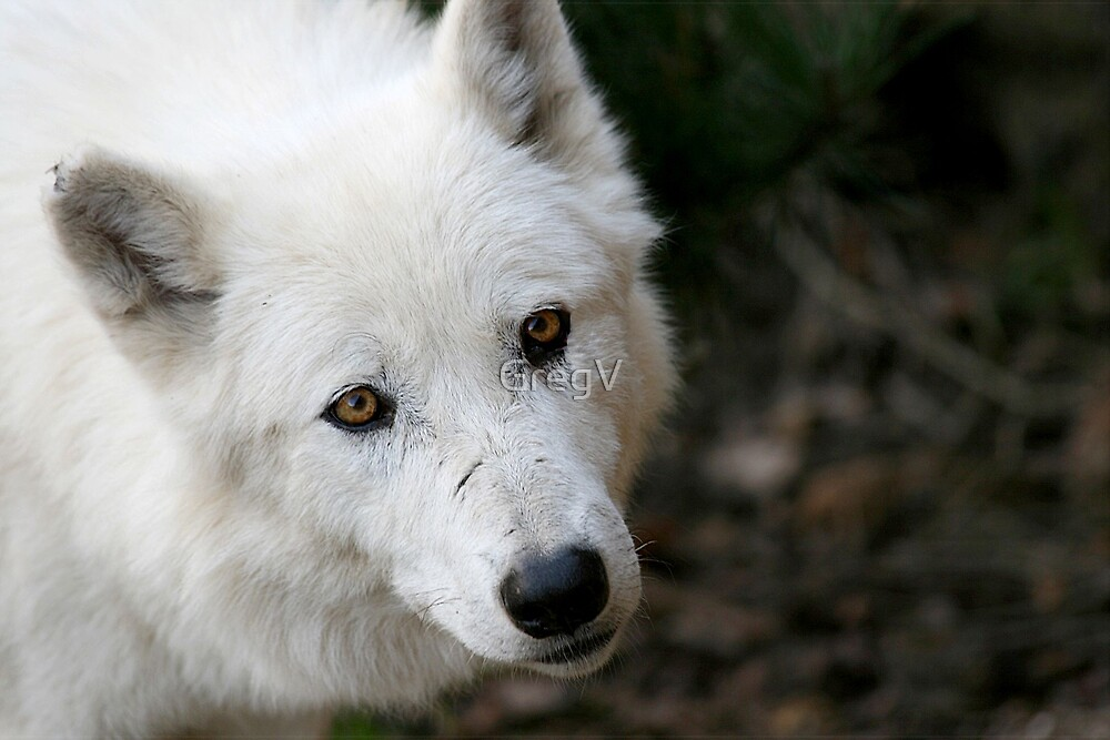 White Fang by GregV