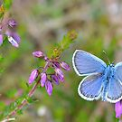 Common Blue by relayer51