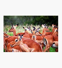 IMPALA (Mamal Antidorcas marsupialis) Photographic Print