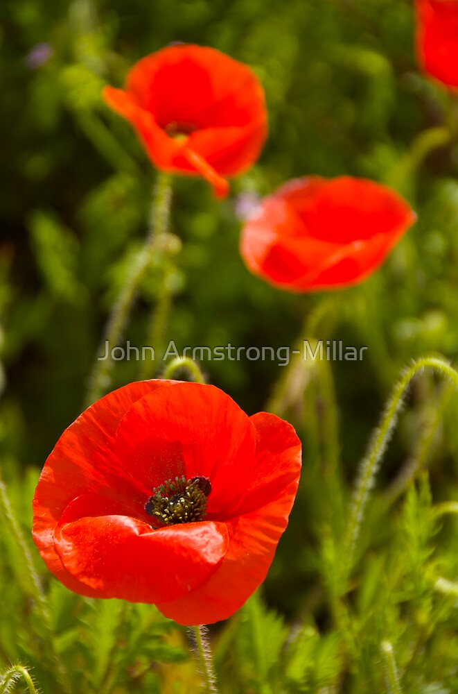 poppies by John Armstrong-Millar