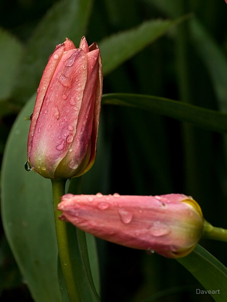 Two tulips by Daveart