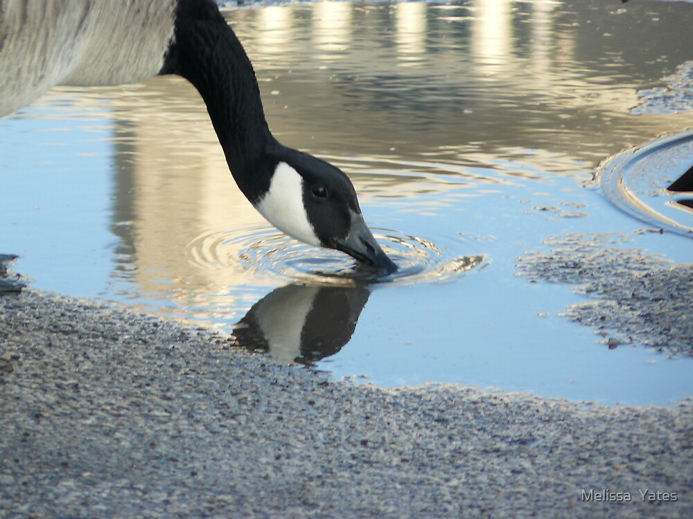 A thirsty goose by Melissa  Ousley